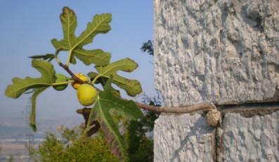 smokva_u_zidu_Fig_in_the_wall_stone